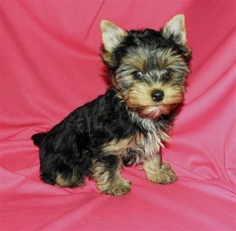 miniature yorkie puppies house trained miniature yorkie puppies bethel ak asnclassifieds