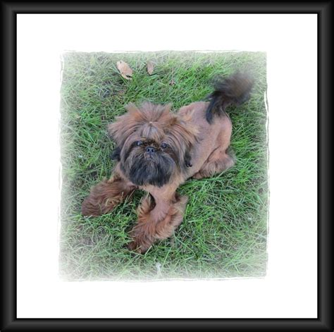 shih tzu puppies mn shih tzu rescue minnesota breeds picture