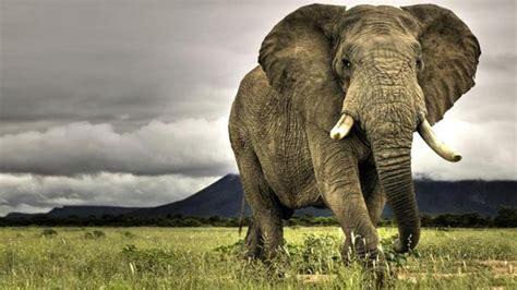 Taring Gajah 3 gajah afrika check out gajah afrika cntravel