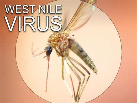 Clark county records first west nile virus for 2015 justsaynews com