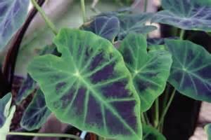 the best fertilizer for elephant ear plants