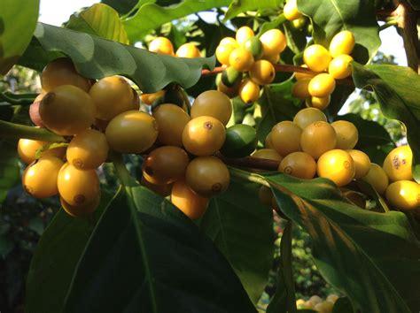 cherry tree yellow fruit busy time at coffee harvest season da kine coffee bean