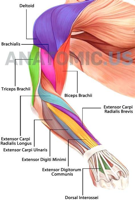 triceps diagram diagram triceps brachii diagram