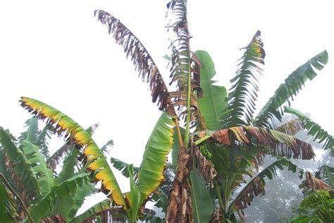 australian plant diseases qld bananas could disease the new daily