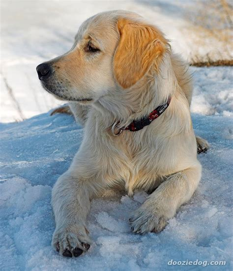 kennel club golden retriever puppies golden retriever and puppy photos design bild