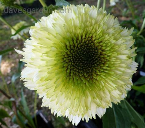 plantfiles pictures coneflower pompon white echinacea