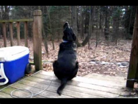 dogs howling at sirens howling compilation funnydog tv