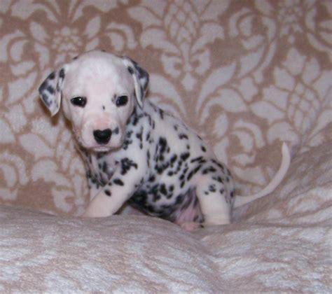 baby dalmatian puppies newborn dalmatian puppies