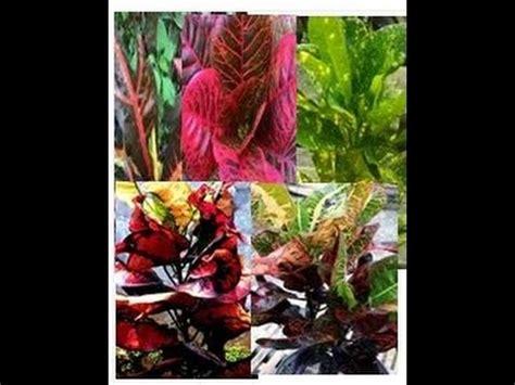 Tanaman Daun Puring 14 9 jenis tanaman puring dan keindahan daun bunga puring