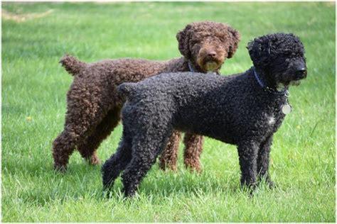 water breeds water breeders puppies facts pictures price temperament animals