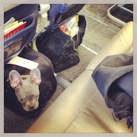 Can Dogs Fly In Cabin by Tips For Traveling With Pets Airline And Hotel Policy