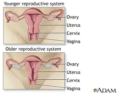 How Does A Period Last After Ac Section by Aging Changes In The Reproductive System Penn