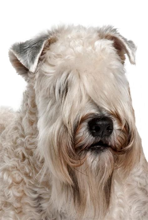 Do Terriers Shed by 100 Do Wheaten Terriers Shed 100 Do