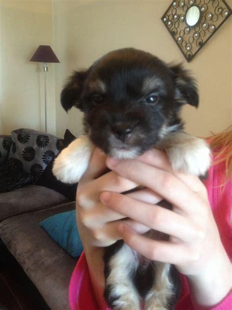 pomeranian puppies for sale in norfolk chorkie x pomeranian puppies norwich norfolk pets4homes