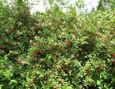 barbados cherry tree for sale florida