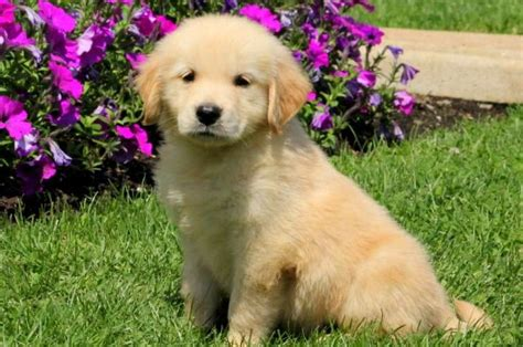 golden retriever puppies pensacola 2 golden retriever puppies for sale near pensacola fl within 300
