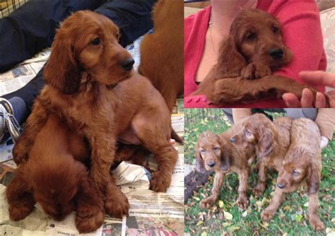 red setter dogs and puppies for sale irish red setter pups strong wendover breeding newport