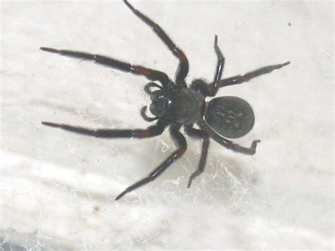 black house spider common neighbourhood spiders agriculture and food
