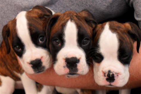 boxer puppies for sale reduced boxer puppies for sale 2 dogs 1 wirral merseyside pets4homes