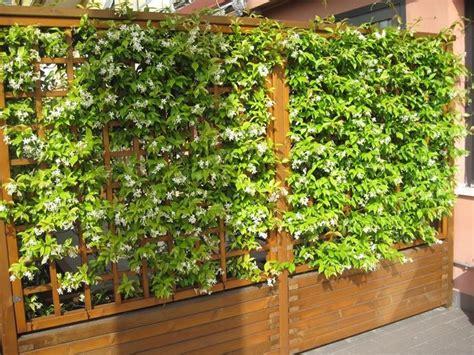 piante alte da terrazzo siepi per terrazzi siepi scegliere la siepe per il