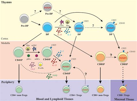 frontiers the of regulatory t thymocytes between the 206 178 selection exles of evergreen