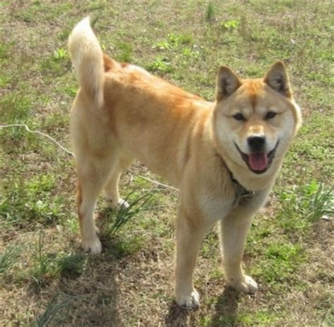 jindo puppies jindo breed information and pictures