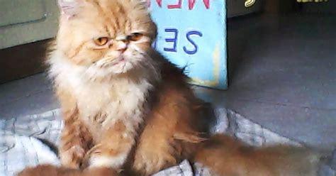 Sho Kucing Di Petshop kucing anggora segitu petshop