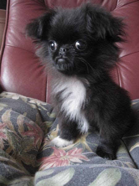 yorkie japanese chin mix apparently this puppy is a japanese chin x peke x pomeranian mix not sure if he s