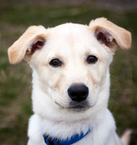 husky lab puppies husky lab mix learn all about an amazing cross breed