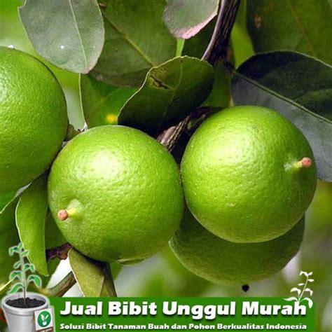 Jual Bibit Anggur Import Di Medan jual bibit jeruk nipis murah agro bibit id