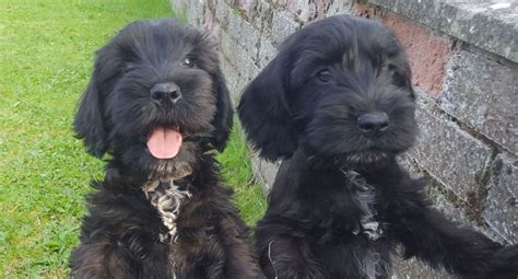 mini cocker spaniel puppies for sale in mini schnauzer x cocker spaniel puppies for sale carlisle cumbria pets4homes