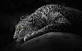 Wallpaper Jaguar Black Jaguar Wallpapers Wallpaper Cave
