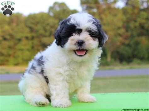 teddy puppies for sale in pa shichon teddy puppies for sale in pa pixie cut with bangs