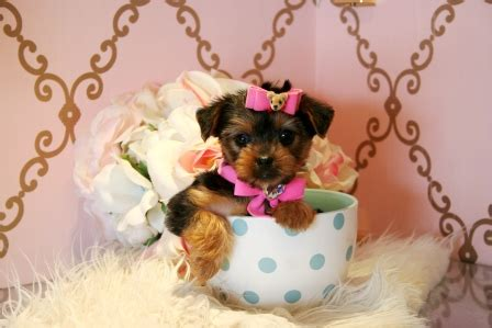 yorkies for sale in miami teacup yorkies for sale in miami teacup yorkies in miami teacup yorkie dogs
