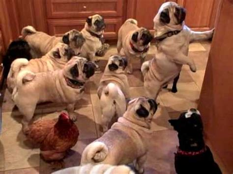 chicken pug pug club with a chicken mascot