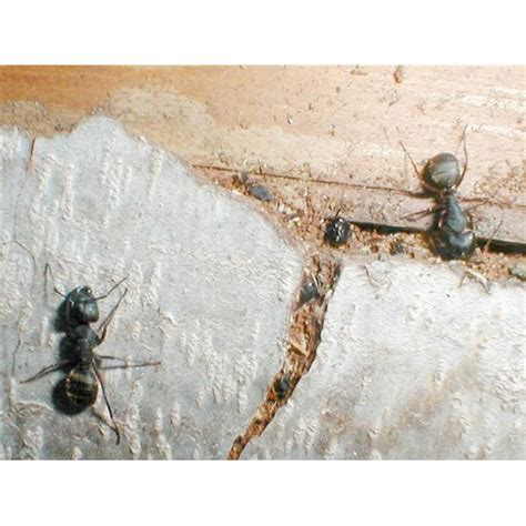 how do i get rid of carpenter ants in my home