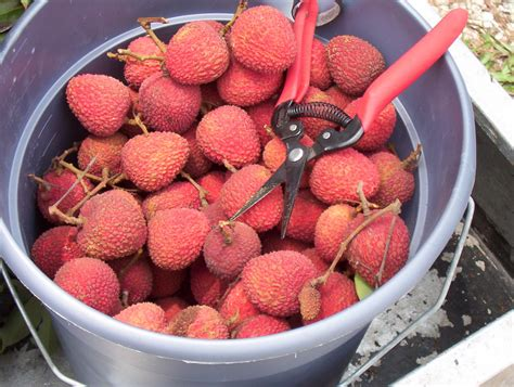 lychee fruit inside lychee fruit store localharvest