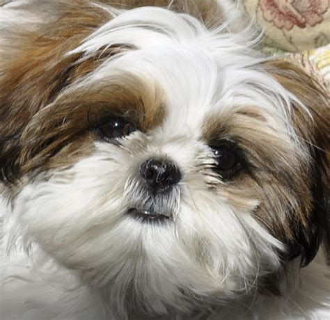 shih tzu puppies in pekingese pomeranian chihuahua mix breeds picture