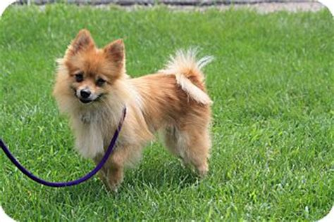 turkish pomeranian pomeranian mix for adoption in west milford new jersey goldie 9 lbs
