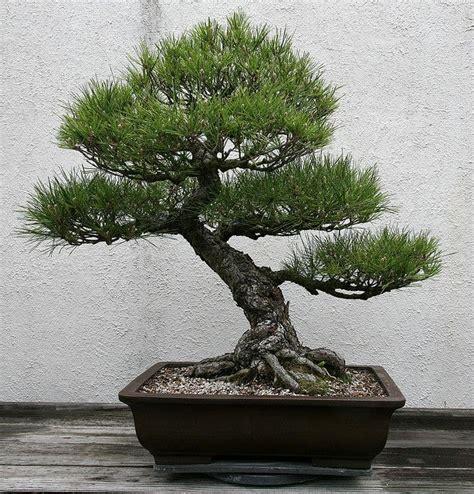 japanese black pine pinus thunbergii pine bonsai