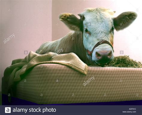 futon jokes cow calf is laying in a bed humour joke mattress