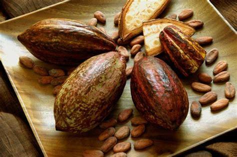 Jual Bibit Coklat Di Pekanbaru jual bibit kakao coklat tanaman pohon anggur