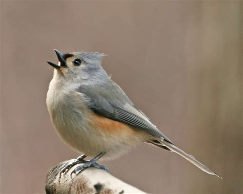 tufted titmouse on limb waiting for turn at feeder