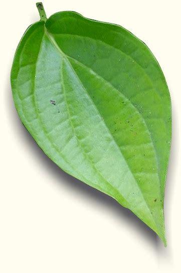Daun Retsleting Gigi Kwalitas A Coklat bali aromatic spa tips sehat dan cantik alami