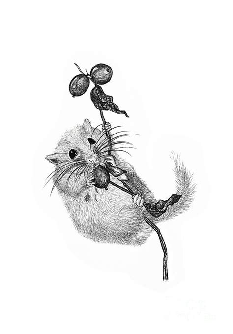 In Dormouse Drawing by Dormouse Drawing