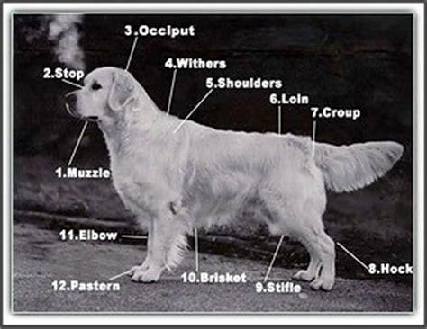 golden retriever breed standard golden retriever society of ireland