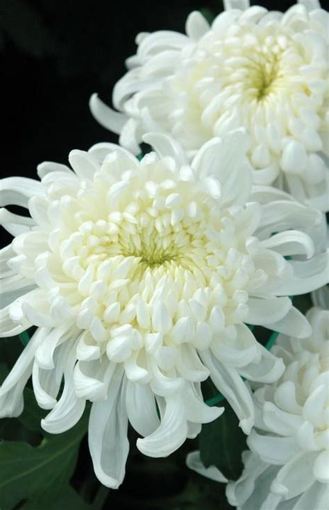 white chrysanthemum books 25 best ideas about chrysanthemums on