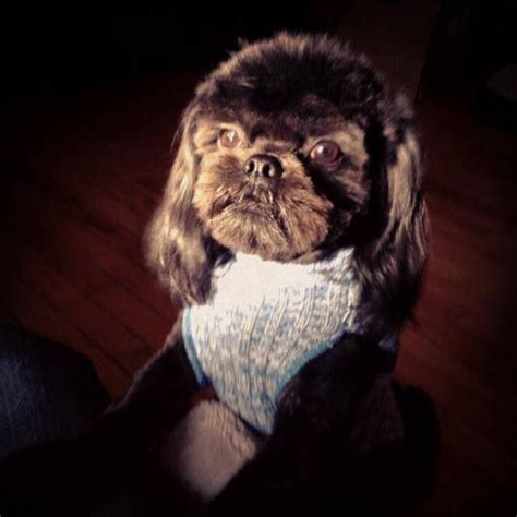 shih tzu hair growth 31 best images about barkley shih tzu hair cuts on grow out shih and