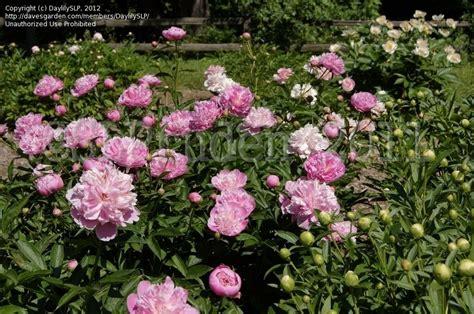 Peony Garden by Plantfiles Pictures Heirloom Peony Garden Peony