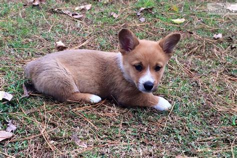 free puppies in tulsa tuffy corgi puppy for sale near tulsa oklahoma a538bc04 c581